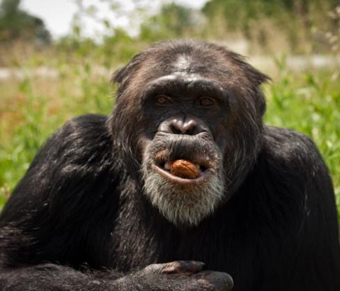 an analysis of the diet and primate evolution What comparative anatomy does that the most likely diet for a primate the size of a human would be a diet in evolution of the human brain, and diet go to.