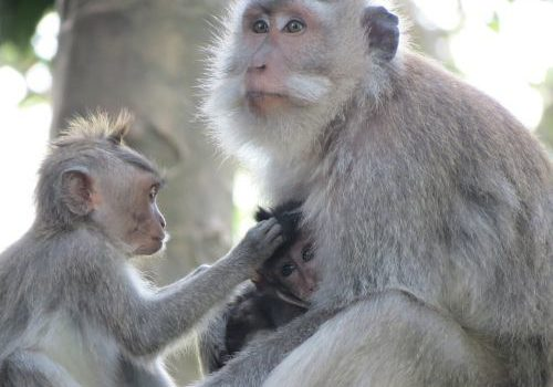 https://www.needpix.com/photo/1110749/monkey-indonesia-bali-macaques-monkey-cub-animal-free-pictures-free-photos-free-images Author: luccie3 (pixabay.com)