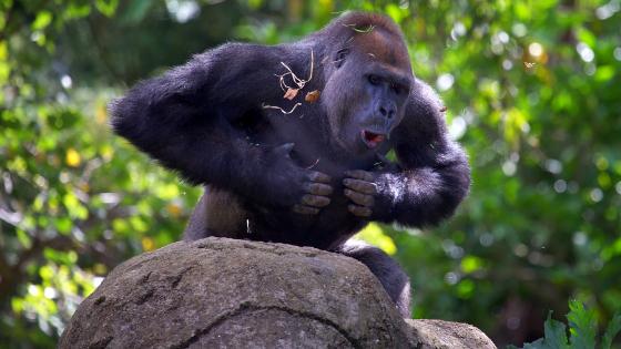Gorila golpeándose el pecho