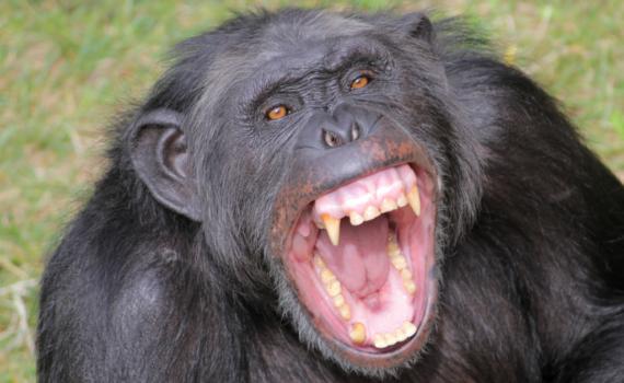 chimpancé enseñando los dientes